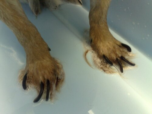 Dog S Nails Too Long Cause Pain