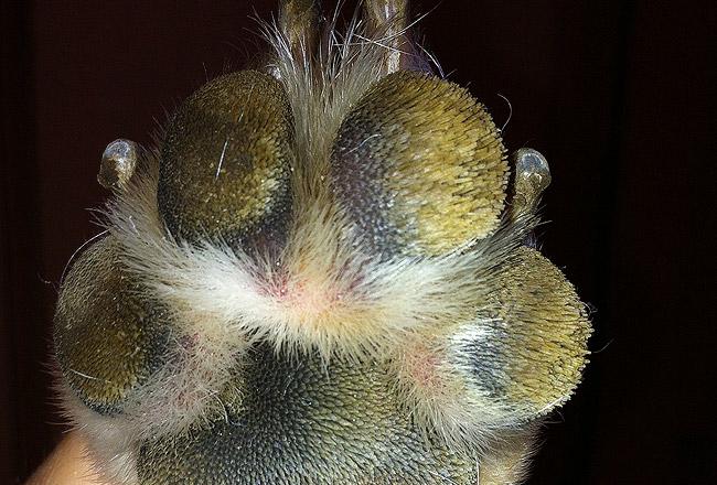 Dog Hairy Paw Pads