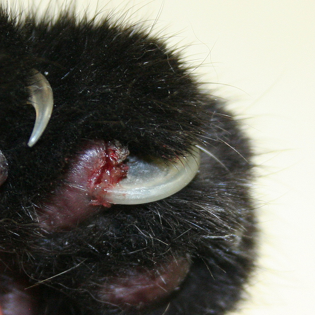 Cat Nail Infection Black