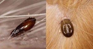Flea/Tick